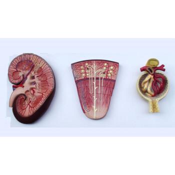 肾与肾单位肾小球模型泌尿解剖结构人体肾模型