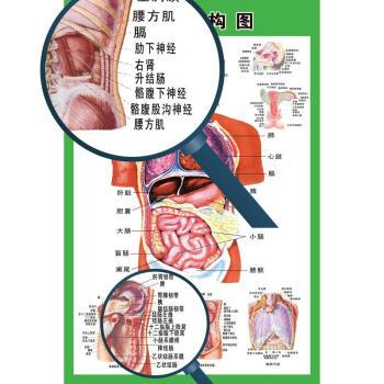 人体内脏分布构图_新款人体内脏解剖系统示意图医学宣传挂图人体器官心脏结构图医院海报