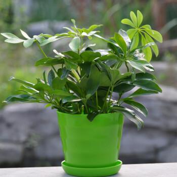 静菡绿植鸭掌木常绿盆栽花卉大型花卉绿植七叶莲/鹅掌图片