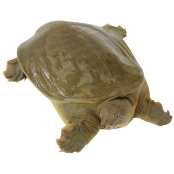 ?M_冷江 洞庭湖系鮮活生態甲魚 母鱉 1只裝 600g