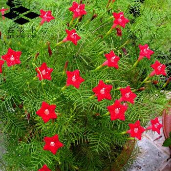 爬藤攀援盆栽五角星花 不分颜色 混色装 间包装 羽叶茑萝约50粒装_ 1图片