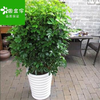 鸭掌木七叶莲绿植小盆栽水培花卉植物办公室内盆景 不图片