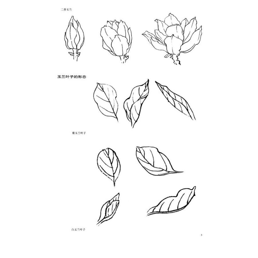 工笔画白描教学示范:玉兰画稿图片