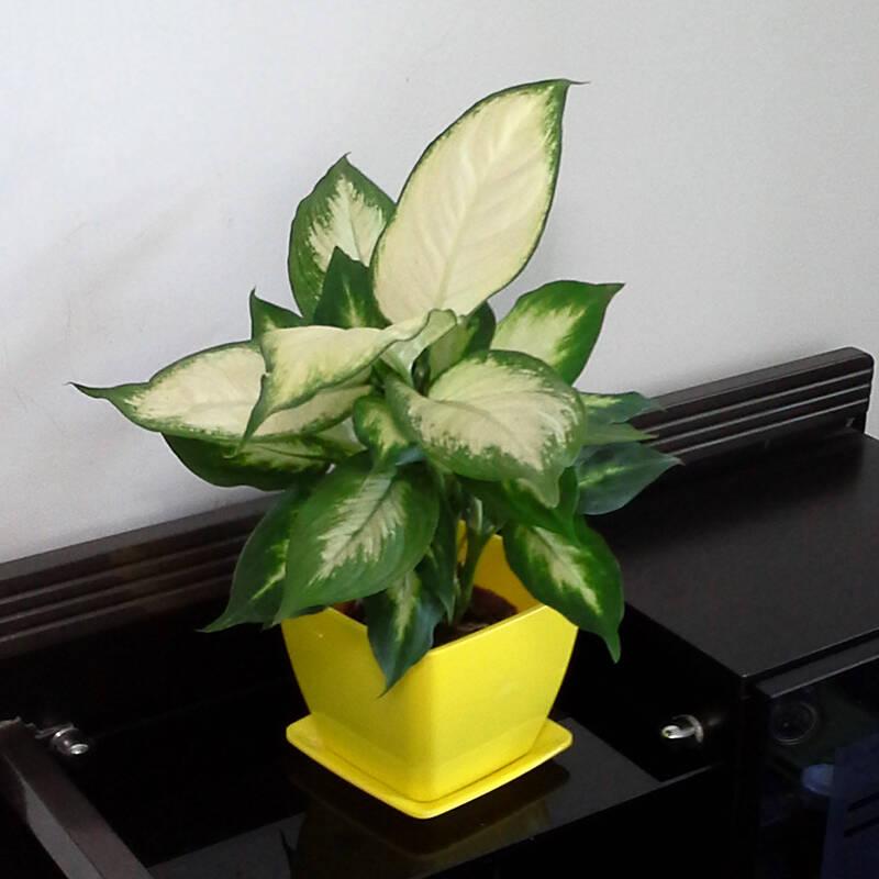 华清园 玛丽安 万年青 绿植 盆栽 植物 花卉 礼品 水培 办公桌植物