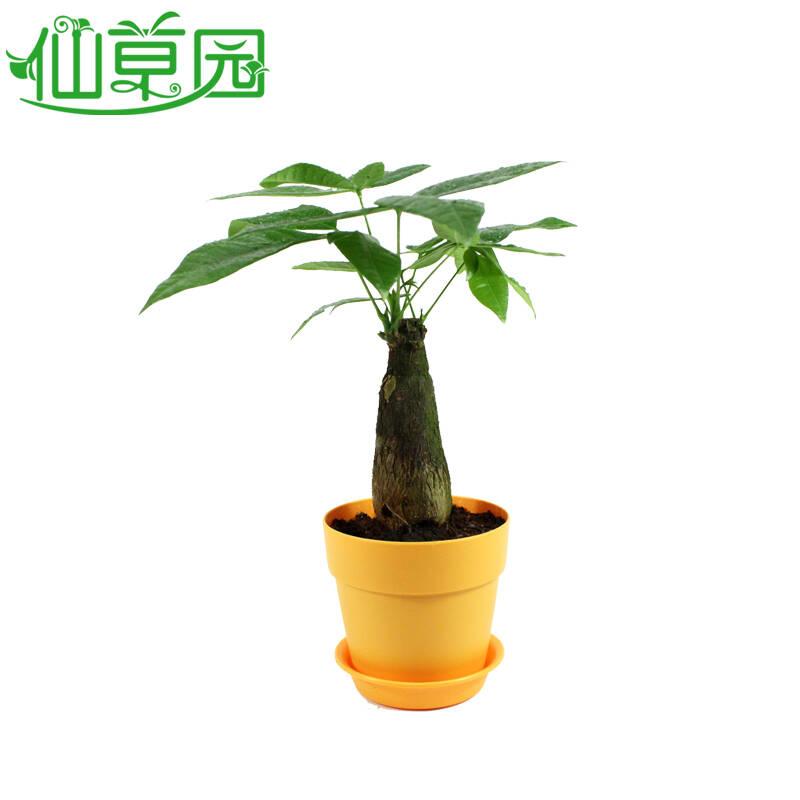 绿色植物发财树盆栽 室内