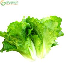 津沽园艺 蔬菜种子 生菜种子 紫菊 花叶生菜 日本结球图片