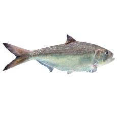 飞鱼穿梭 长江冰鲜鲥鱼 1100-1150g 1条 袋装 海鲜水产
