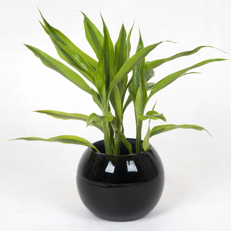 立泰悦达 金边富贵竹 盆栽植物 绿色植物 室内植物/高档礼品花卉 l1
