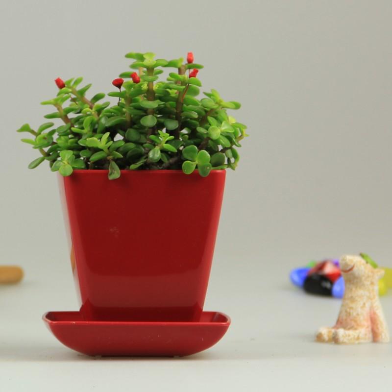 花勿缺(金枝玉叶盆栽)多肉植物办公室桌面迷你创意