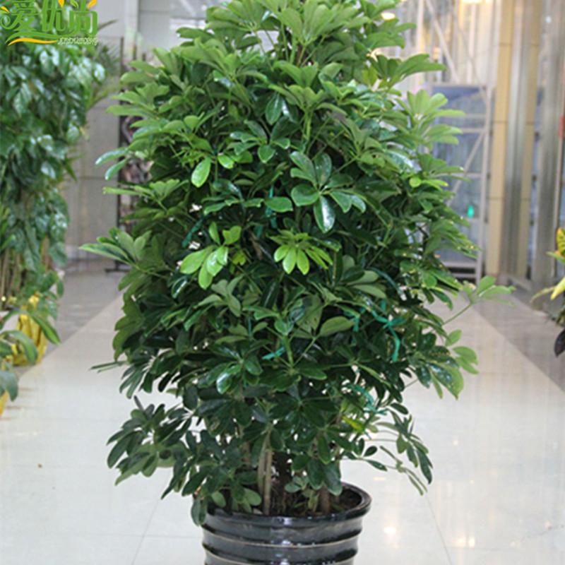 【爱优尚】鸭脚木盆栽大型绿植 吸甲醛 尼古丁净化空气植物 绿色植物