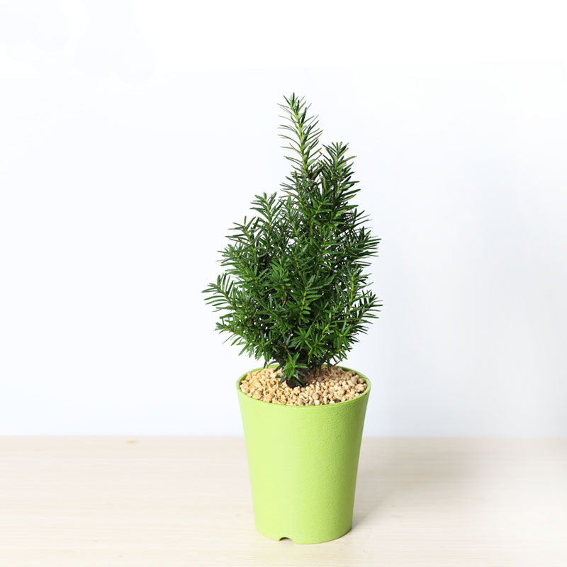 【花漫天】曼地亚红豆杉造型盆景办公桌盆栽植物花卉图片