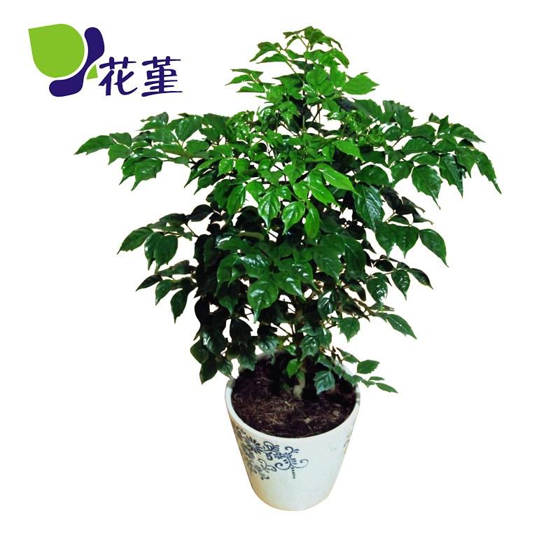 花之堇幸福树 平安树 室内客厅大型植物盆景 观叶盆栽