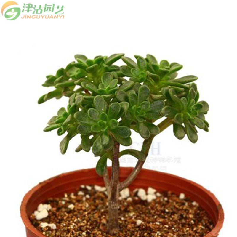 多肉植物 办公桌面盆栽绿植