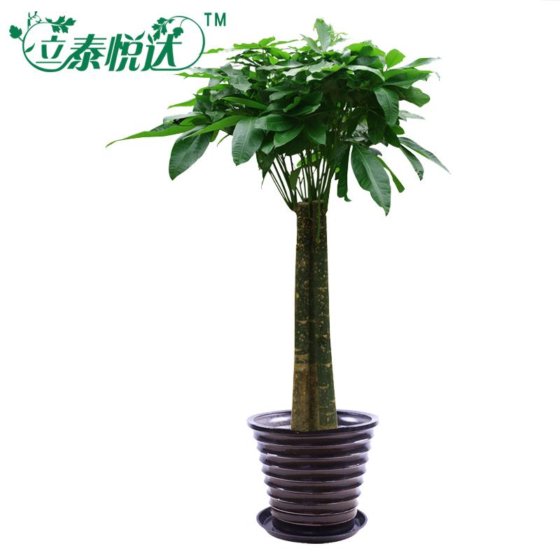 【立泰悦达】三杆发财树 植物 绿色大型植物 室内植物