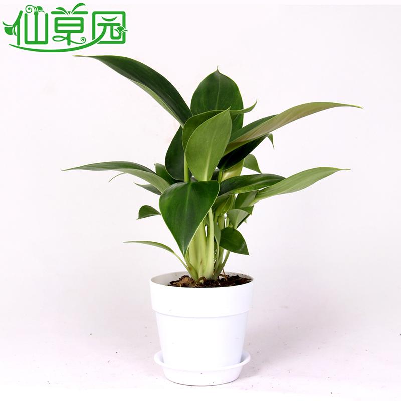 绿色植物盆栽办公室 室内盆景花卉 净化空气 除尘 金钻蔓绿绒 金钻 圆