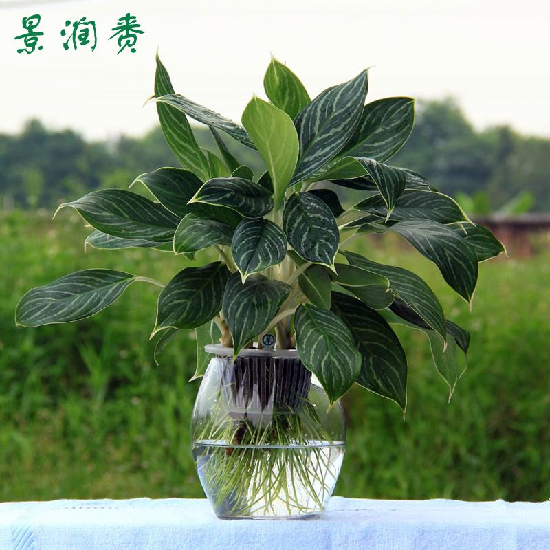 景润赉 大盆栽植物 水培植物 大白菜 室内植物盆景花卉绿植 高档水养