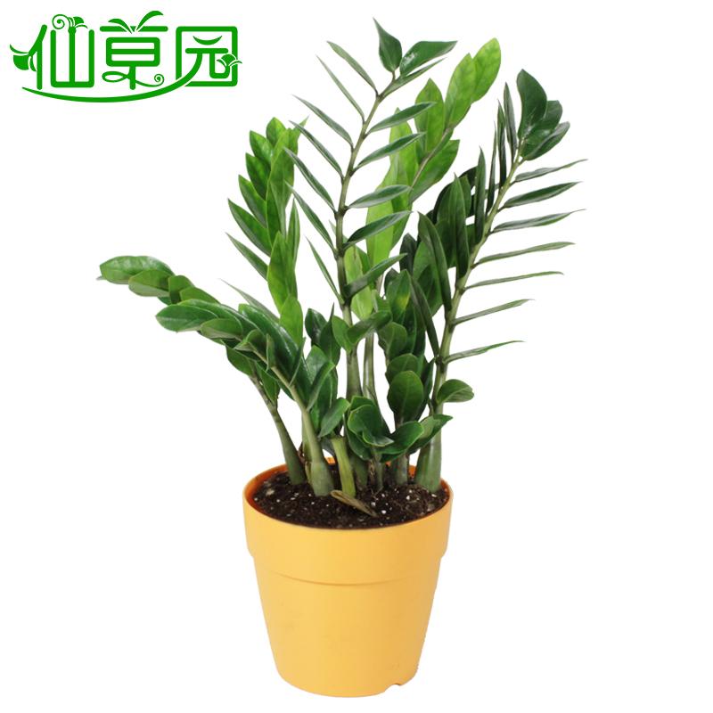 金钱树办公室内植物办公桌防辐射净化空气 金钱树 白色花盆