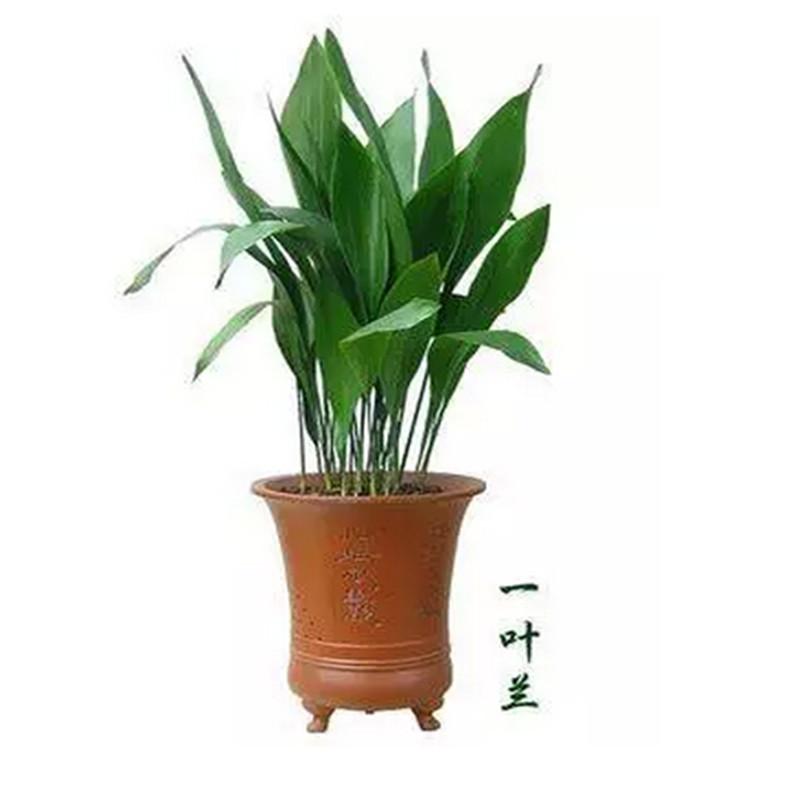 千姿秀 室内观叶花卉绿植 一叶兰 盆栽植物 净化空气