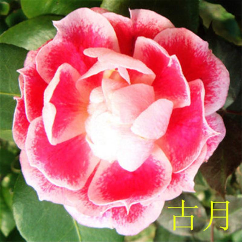 陆地 盆栽植物花卉月季花苗大花月季苗玫瑰苗当年开花