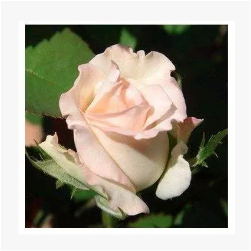 玫瑰花苗 蔷薇