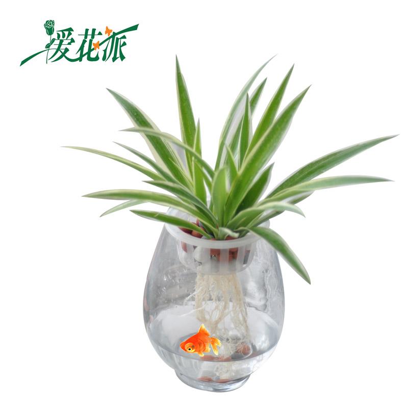爱花派 大恐龙蛋 玻璃花瓶 水培植物花卉专用水培盆 简约时尚 花鱼共
