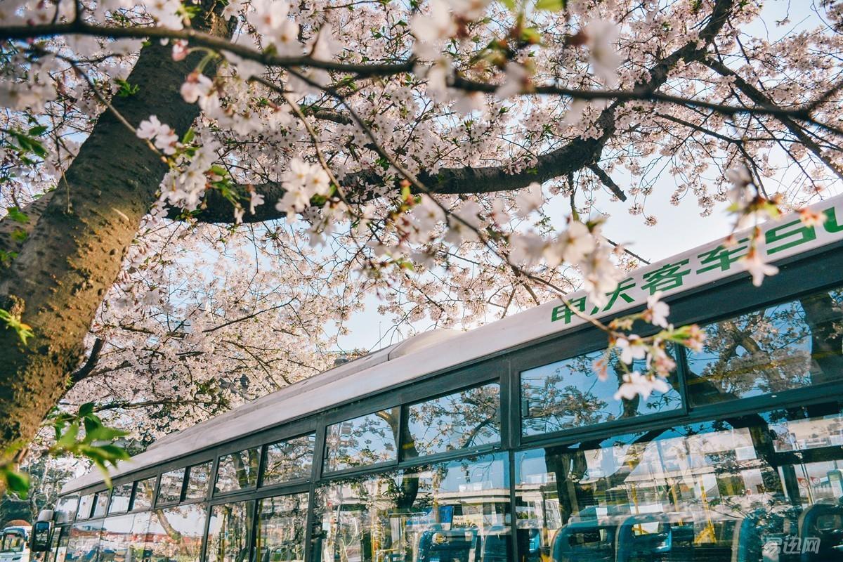 三棵樱花树如何让你假装在日本