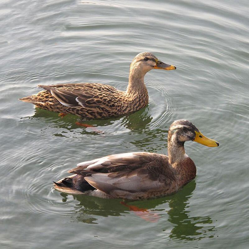 2斤一只土鸭新鲜鸭子冰冻冰鲜白条鸭 两只麻鸭