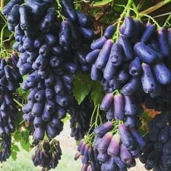 甜蜜蓝宝石无籽金手指黑加仑葡萄黑提子苗当年结果葡萄苗南方北方种植盆栽地载庭院果树苗 1年苗