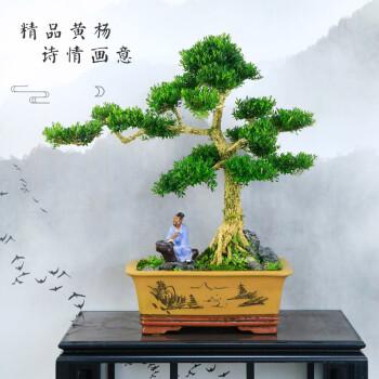 【顺丰发货】大型精品盆景迎客松日本真柏树桩盆景抱石悬崖雀梅30-50年老盆景 ST0049
