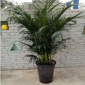 散尾葵 散尾葵凤尾竹 室内客厅大型绿植盆栽 袖珍叶夏威夷盆景 花卉植物t2 1.3到1.4米高度左右 不含盆