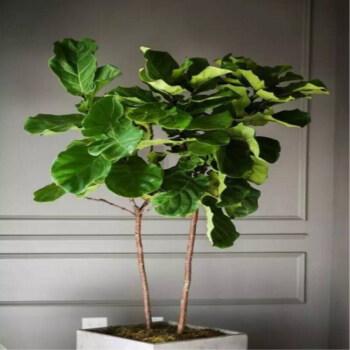 现货 像提琴叶橡皮树 大圆叶琴叶榕植物 易养室内大型盆栽绿植 1.1-1.3米1颗