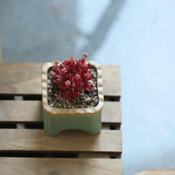 红稚儿新手肉肉植物多肉室内花卉盆栽迷你绿植阳台星辰园艺 大 散群
