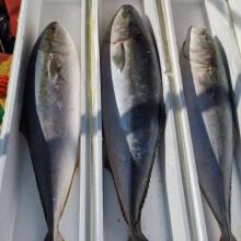 奢旺旗舰店 鲅鱼新鲜冷冻深海黄金鲅鱼可做水饺鱼丸也可香煎 整条16-18斤促销款